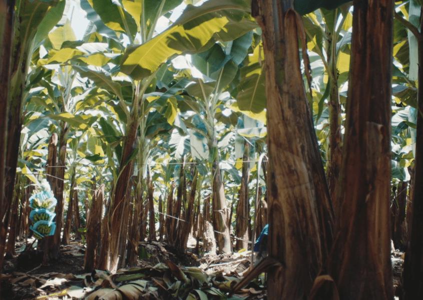 MÆRSK: Latin America / Equadoran Bananas to China